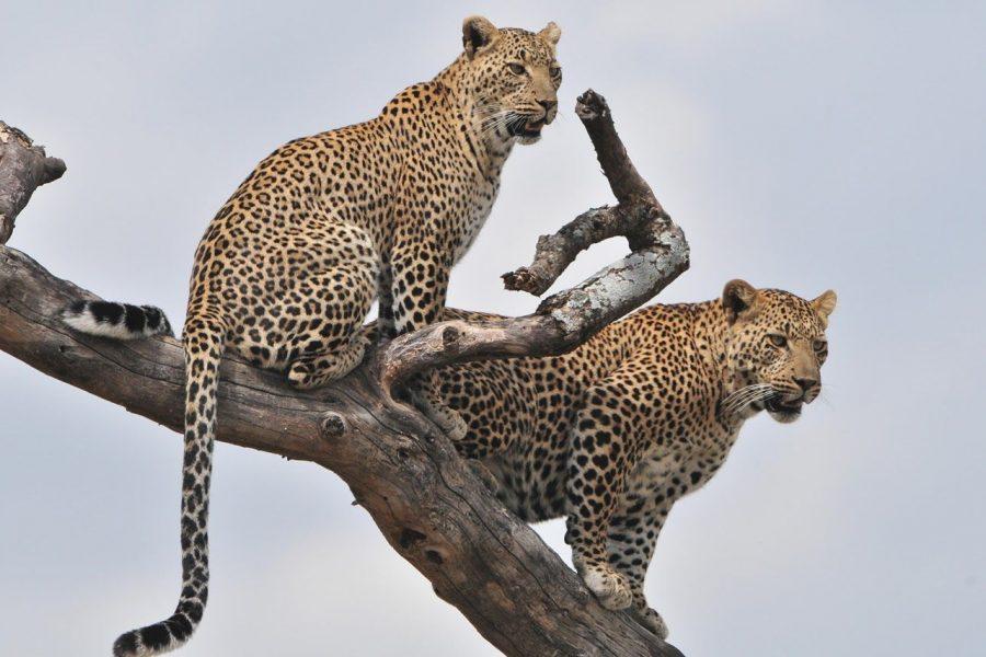 tanzaniakanal_twoleopardintree